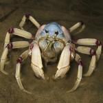 Soldier crab at Maroochydore